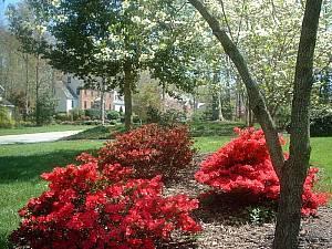 Azaleas in Springtime